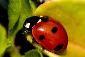 lady-bug-1527196