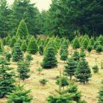 Pick-Your-Own Christmas Trees Farms Near Boston