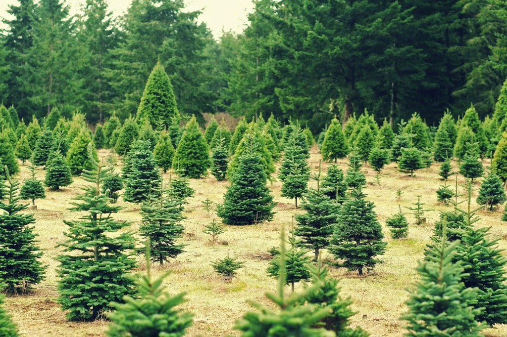 Pick-Your-Own Christmas Trees Farms Near Boston - Pick-Your-Own Christmas Tree Farms Near Boston