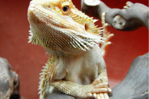 Bearded dragon pet - Boston Moms Blog
