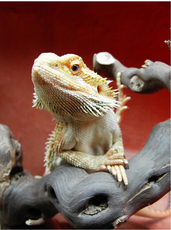 bearded dragon reptile pet