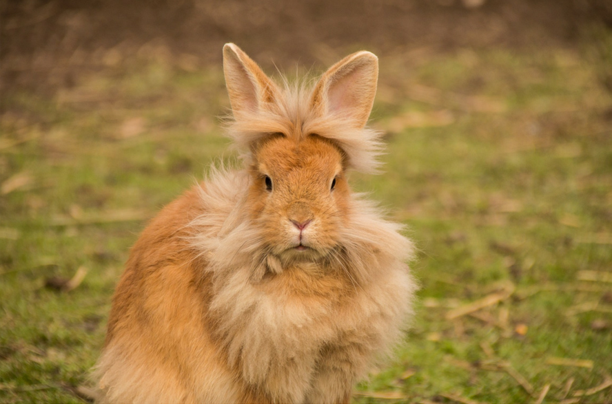 Flurry bunny pet